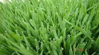 Comprar grama Santo Agostinho em Piraí do Sul PR