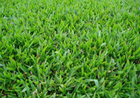 Comprar grama São Carlos em Poço Fundo MG